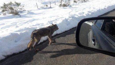 La Guardia Civil investiga el atropello mortal de un lobo difundido por las redes sociales