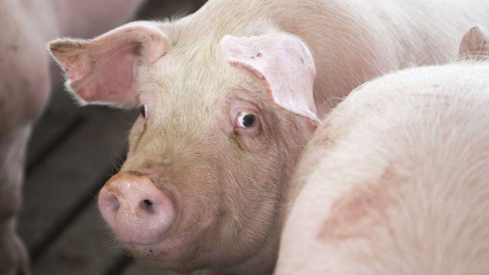 Los vecinos de Cuenca preparan una batalla judicial contra las macrogranjas de cerdos