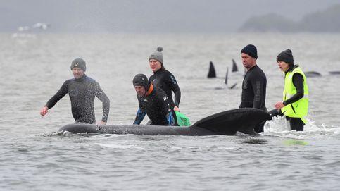 ¿Qué pasa con las ballenas en Australia? Más de 470, varadas en las costas de Tasmania