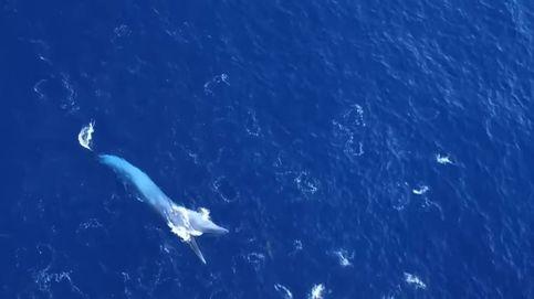 Una ballena se zampa un banco de peces en la Volvo Ocean Race