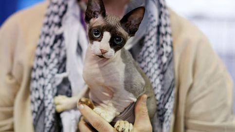El concurso canino de Westminster abre sus puertas a los gatos