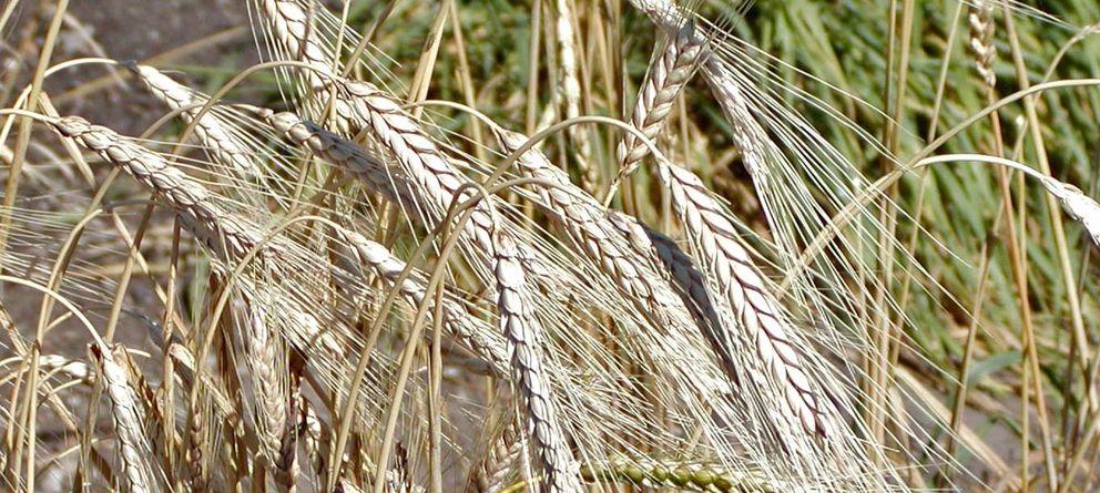 Foto: El triticum turgidum (trigo turgidum), es una familia común del cereal triticum (trigo). (CC/Stan Shebs)