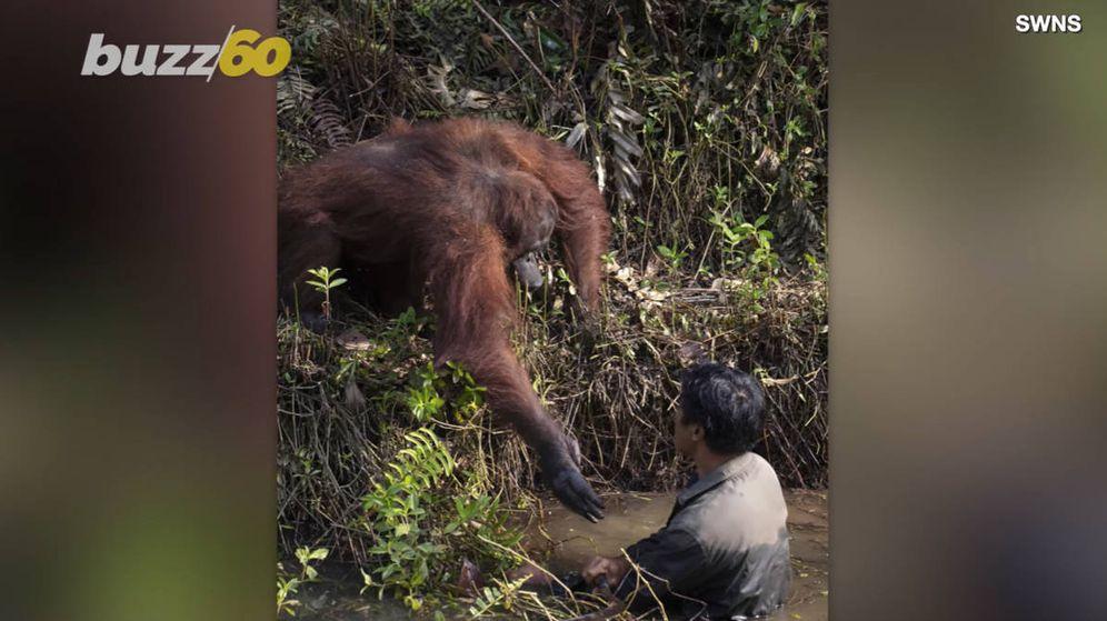 Foto: El simio tendió su mano hacia el cuidador al pensar que estaba en peligro (Foto: YouTube)