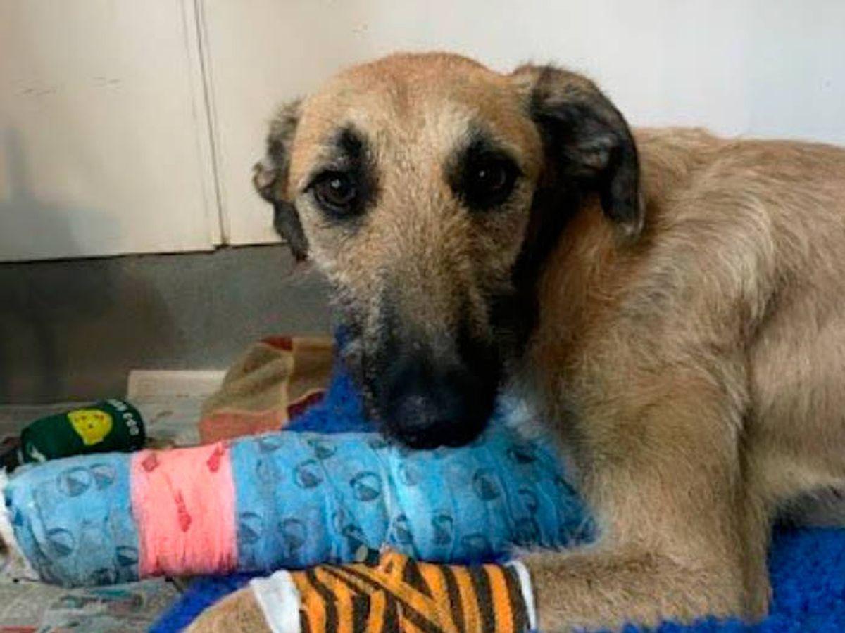 Foto: Steve ha sido operado de su pata y ya le buscan una nueva familia (Twitter)