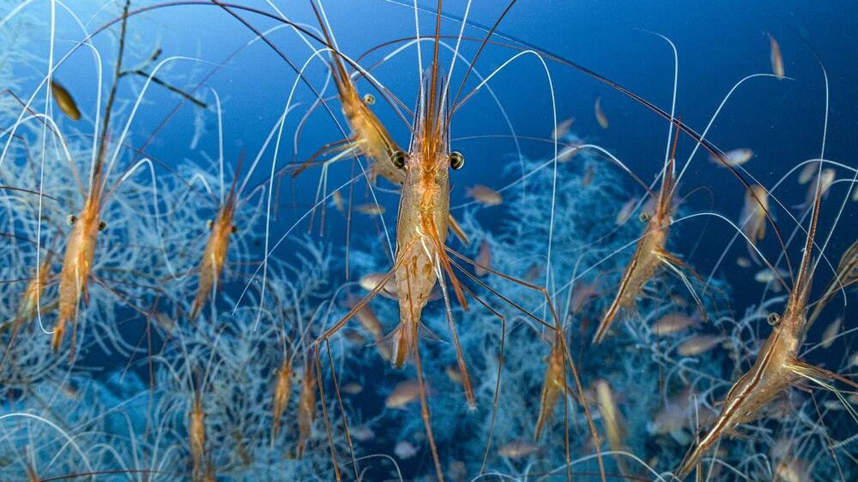 Miles de camarones narval en aguas del Mediterráneo francés. (Laurent Ballesta/Wildlife Photographer of the Year)