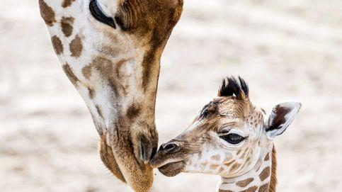 Jirafa nubiana recién nacida