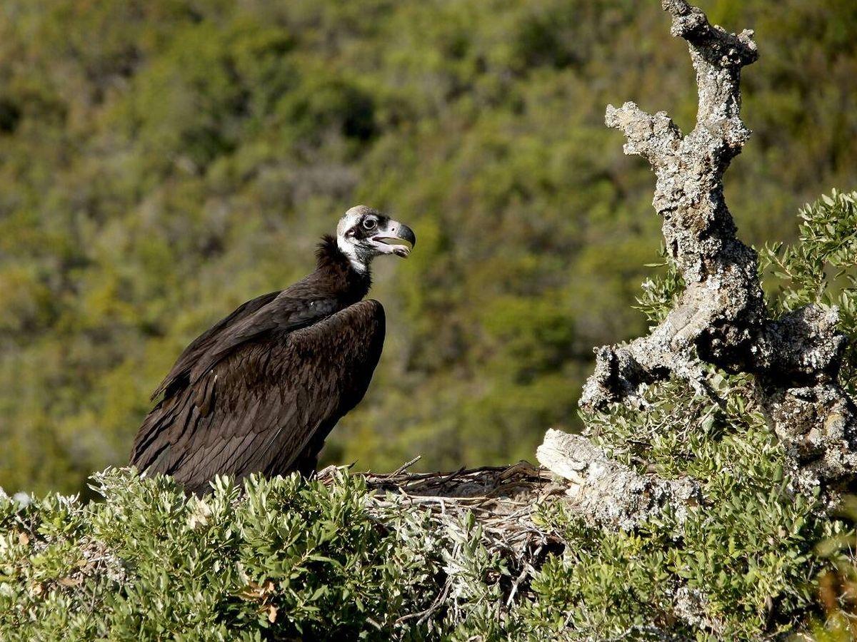 Foto: Buitre negro en su nido. (Carlos de Hita)