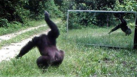 ¿Cómo actúa un chimpancé delante de un espejo?