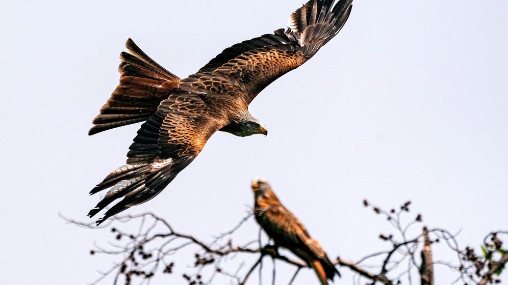 Foto: Milano real, en un espectáculo de aves en Alemania. (EFE)