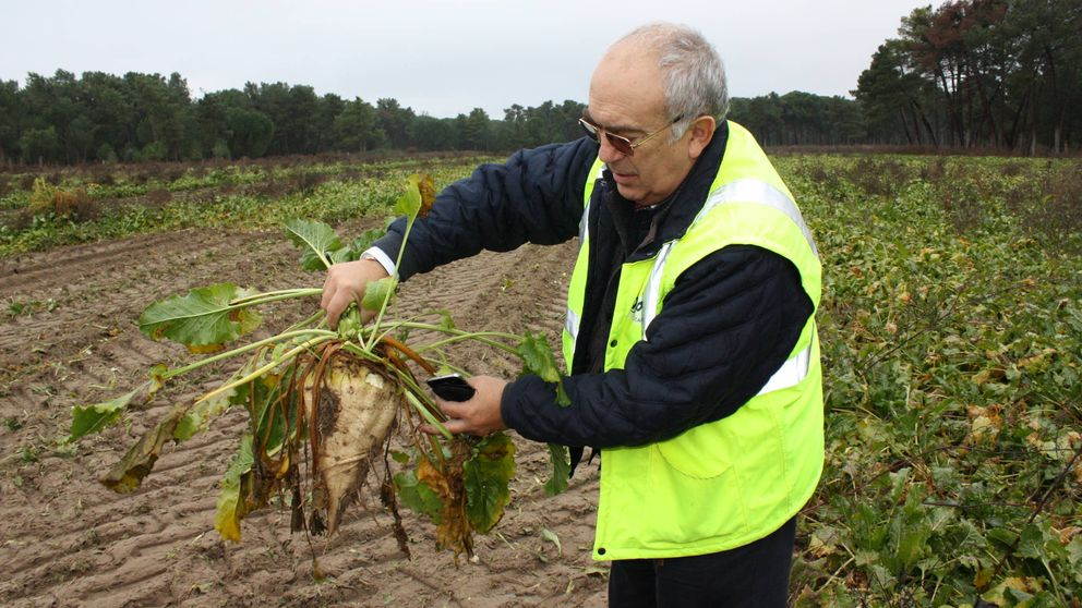 La prohibición de pesticidas para salvar las abejas condena a los remolacheros españoles
