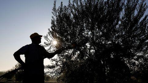 El ébola del olivo puede costar a España 17.000 M de euros en 50 años