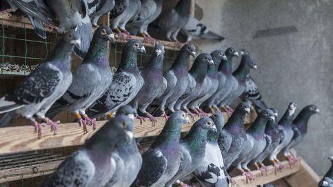 El criadero de palomas más grande del mundo