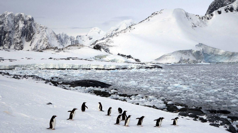 Pingüinos papúa. (Andoni Canela)