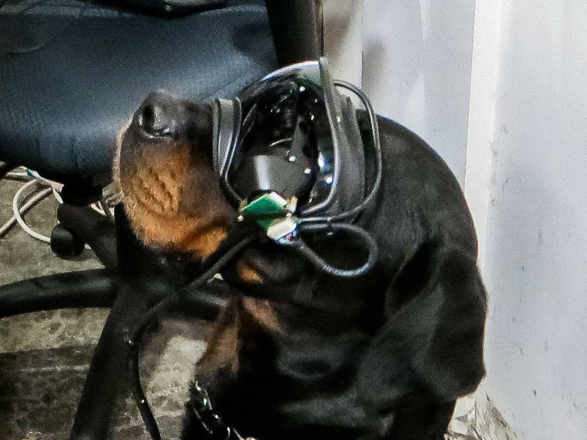 Foto: Un perro con las gafas de realidad aumentada. (US Army)