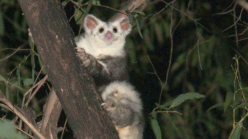 Identifican dos nuevas especies de mamíferos en Australia