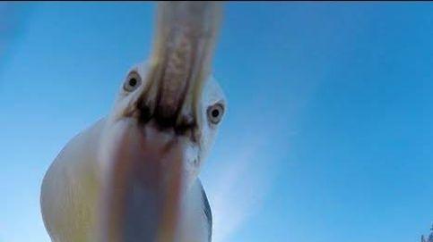 Qué graba una gaviota... con una GoPro robada