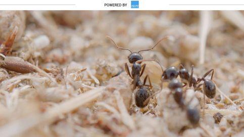 Así cuentan las hormigas sus pasos para no perderse