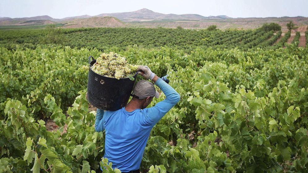 Foto: Una persona trabaja en la vendimia en La Rioja. (EFE)