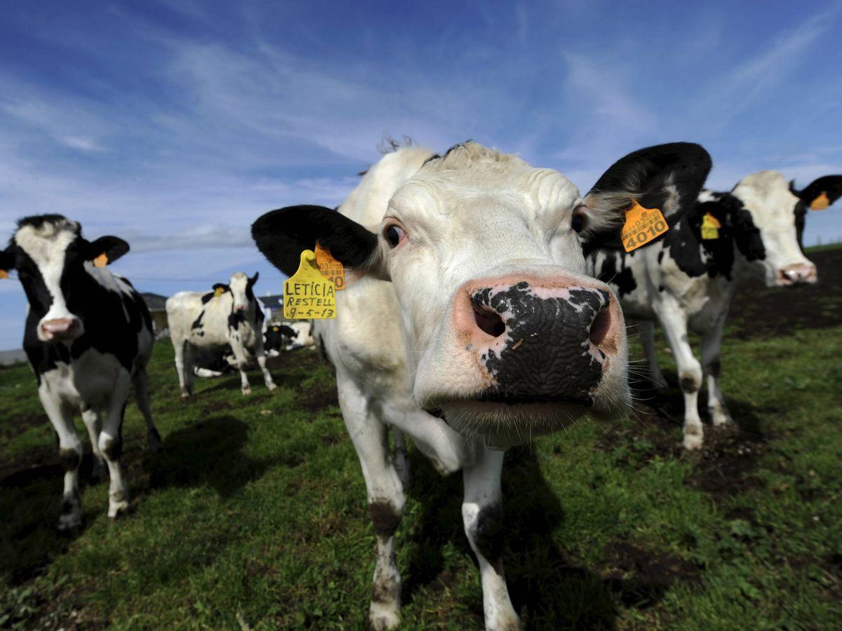 Foto: Los turistas se quejan por el canto del gallo o los cencerros del ganado (Reuters/Eloy Alonso)