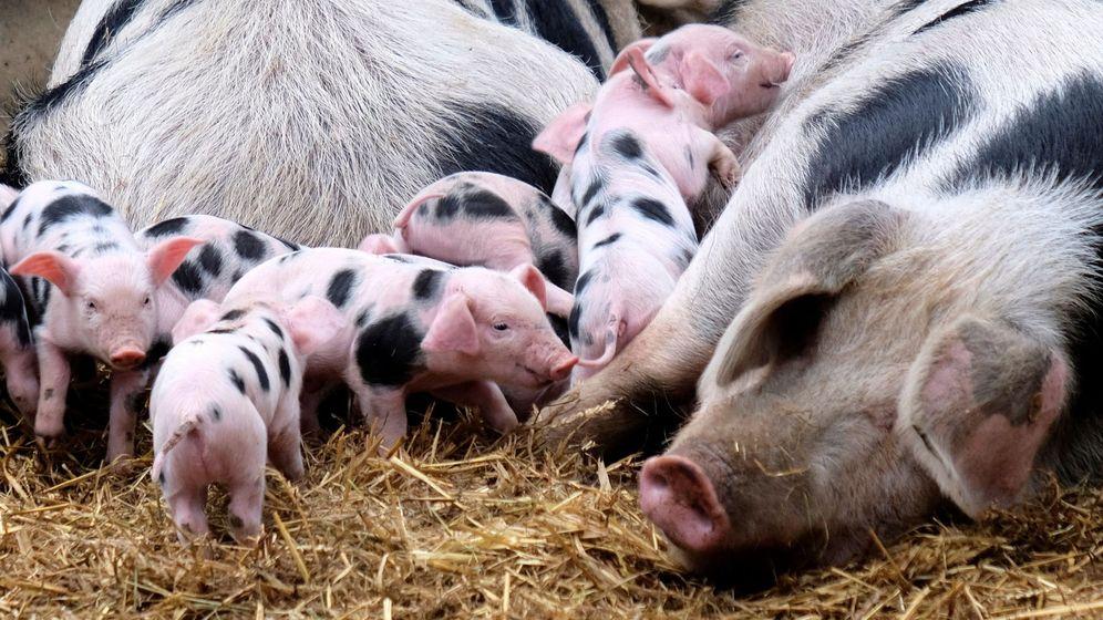 Foto: Foto de archivo de unos cerdos recién nacidos. (EFE)
