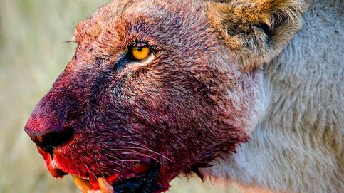 Resuelto el misterio de los leones 'devoradores de personas' de Kenia