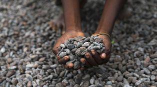 Una amenaza real: el chocolate, en peligro de extinción
