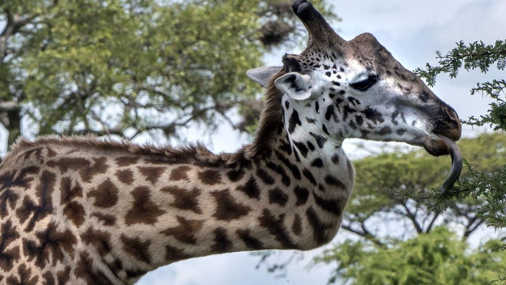 La increíble historia de la jirafa que ha sobrevivido con el cuello 'roto'