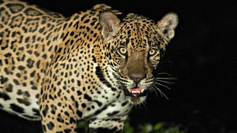 Foto: Ejemplar de jaguar del Pantanal brasileño