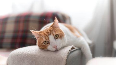 No, tu gato no está tan gordo: qué es la bolsa primordial y para qué sirve
