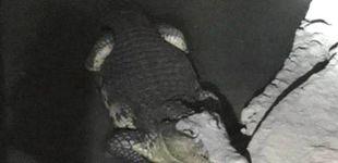 Post de La Policía rusa registra un sótano en busca de armas... y se encuentra un cocodrilo