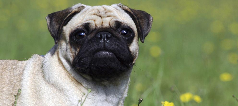 Foto: El pug es una de las razas más afectadas físicamente por la prolongada endogamia. (iStock)