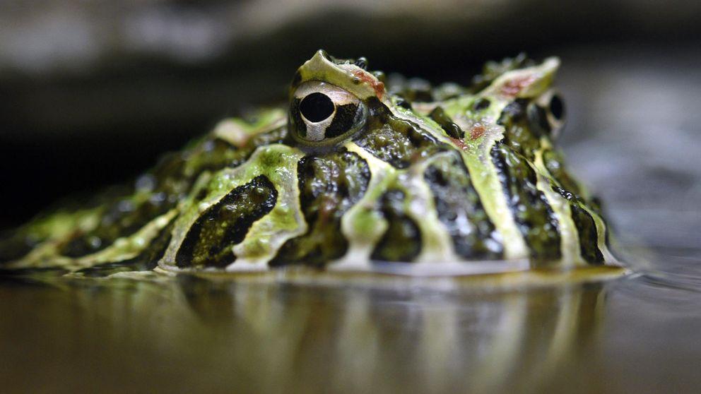 Adiós al príncipe rana: la silenciosa extinción de los anfibios