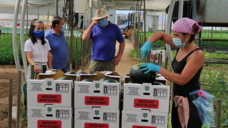 Plantación dedicada esta campaña a las sandías.