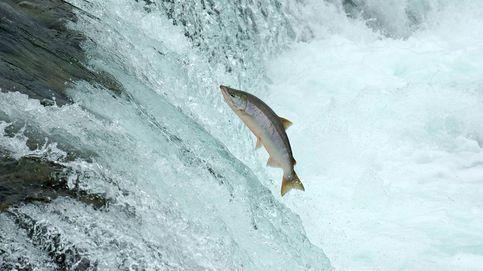 Los salmones transgénicos: ¿cuándo llegarán a tu plato?