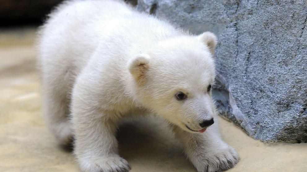 El misterio de la enfermedad del oso polar que sufrían los humanos, resuelto