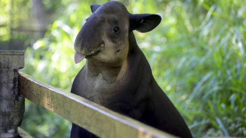 Del tapir al okapi: animales 'nacionales' al borde de la extinción