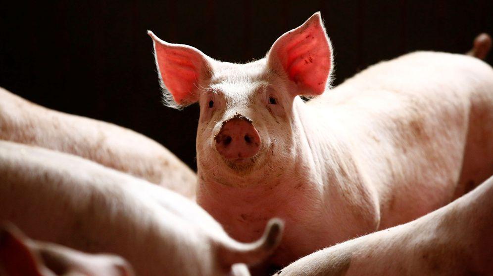 Foto: Cerdos en una cochiquera cerca de Varsovia. (Reuters)