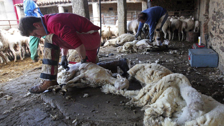 Operarios esquilan ovejas en una explotación. (EFE)
