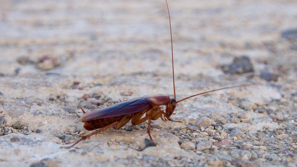 Las cucarachas pueden morder con una fuerza 50 veces mayor que su peso
