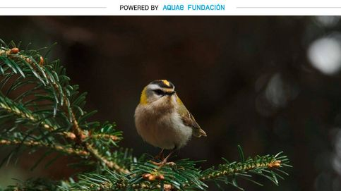 Este es el pájaro más pequeño de Europa