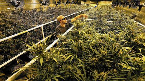 Cosechar marihuana en California: así gané 15.000 dólares en 75 días