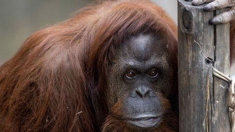 El 'Big Foot' del Pleistoceno, primo (lejano) del actual orangután
