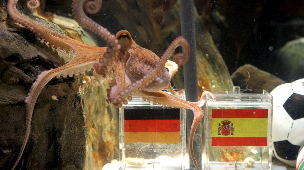 Foto: El pulpo Paul pronosticó el pase España a la final del Mundial de Sudáfrica 2010 con una clara victoria en la semifinal contra Alemania. (EFE)