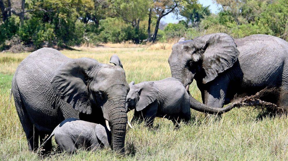 Foto: Botsuana levanta la prohibición de cazar elefantes en su territorio