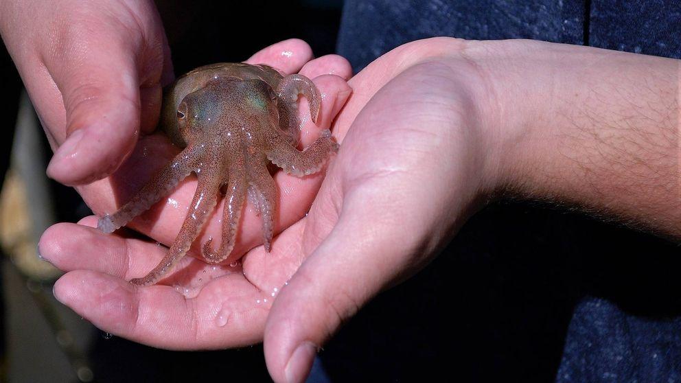 El superpoder genético del calamar: es capaz de editar su ARN