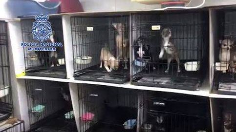 Rescatan a 270 perros maltratados en dos criaderos ilegales de chihuahuas en Madrid