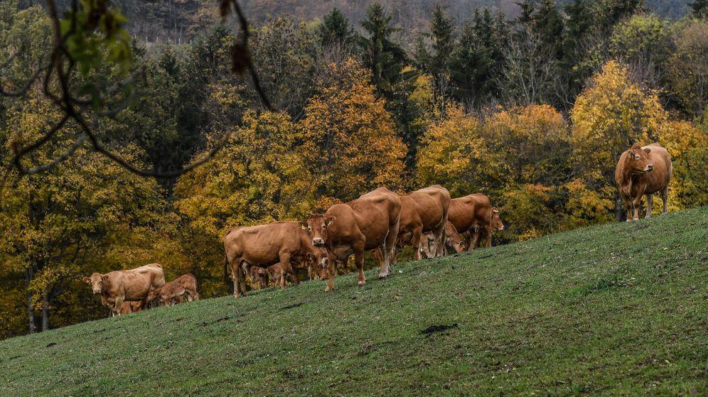 Foto: Las vacas austriacas estarán protegidas por un código de conducta (EFE EPA/Filip Singer)