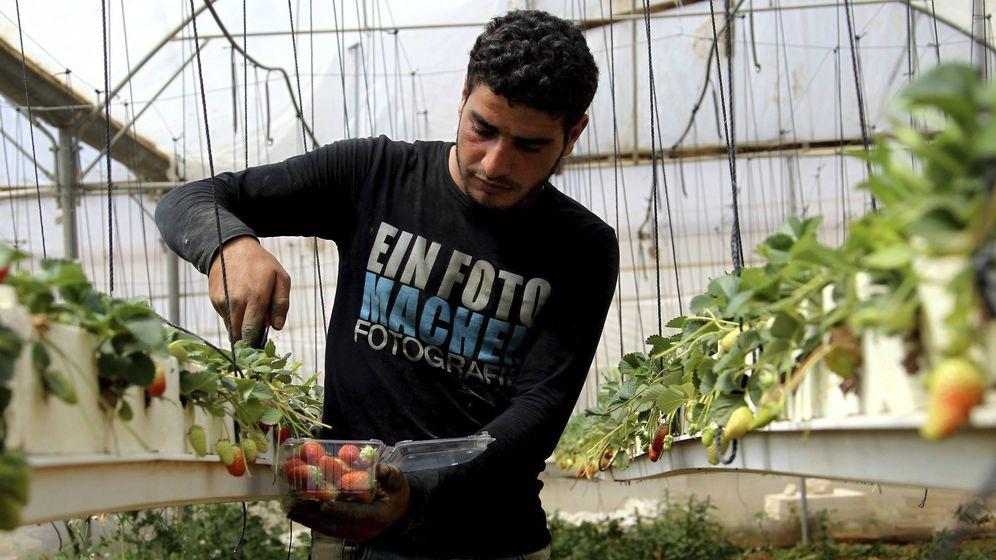 Foto: Un jornalero palestino recoge fresas en una explotación agrícola en Tamon, cerca de la localidad cisjordana de Naplusa. (EFE)