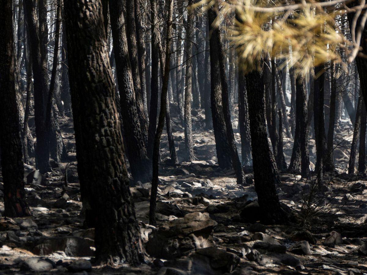 Foto: Árboles afectados por el gran incendio de Sierra Bermeja. (EFE)