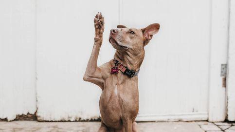 Extender la vida de los perros servirá para extender la vida humana